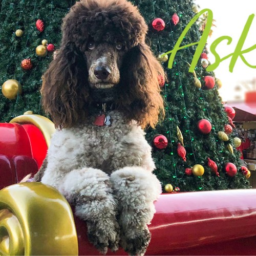 Christmas Poodle and Stocking Stuffer Gifts for Dogs