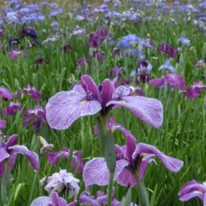 あやめ園_白紫1