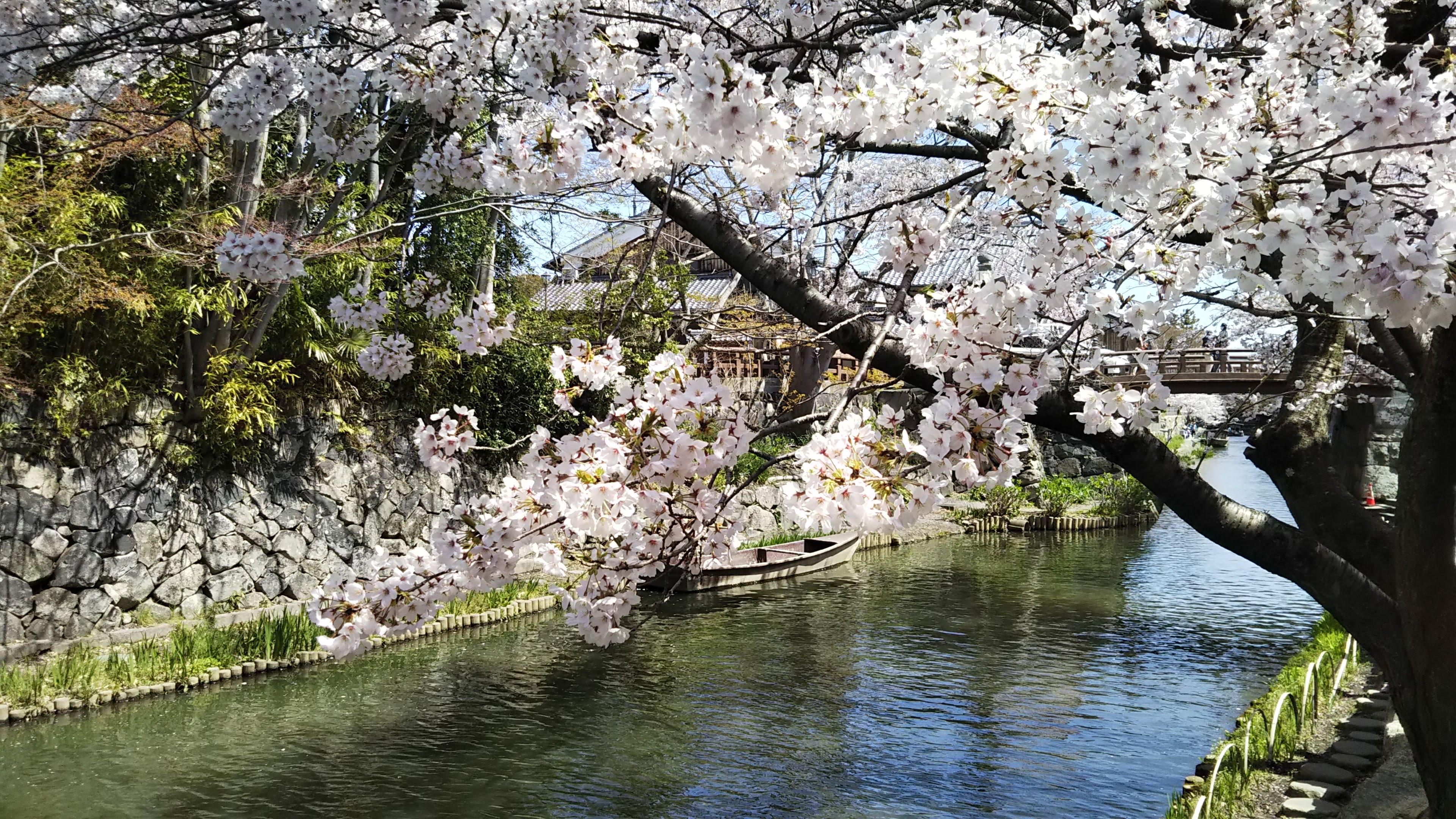 八幡堀_桜