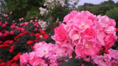 庄堺公園_バラ園