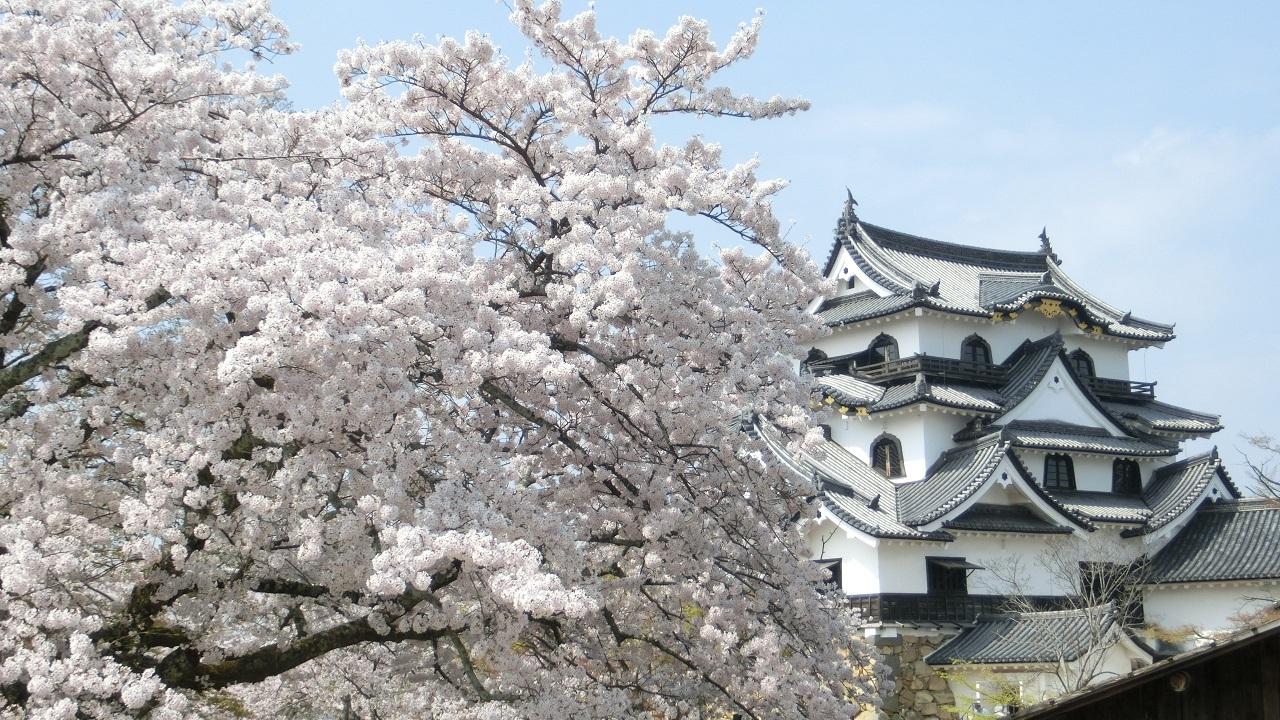 彦根城_桜