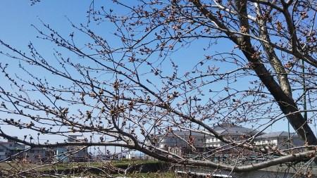 2020年『白鳥川沿いの桜ぼんぼり』