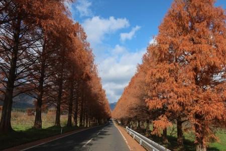 マキノ高原メタセコイア並木2020年紅葉