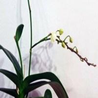 Ce faci cu tija de la orhidee dupa ce au trecut florile