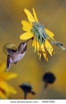 Broad-tailed Hummingbird feeding on a sunflower