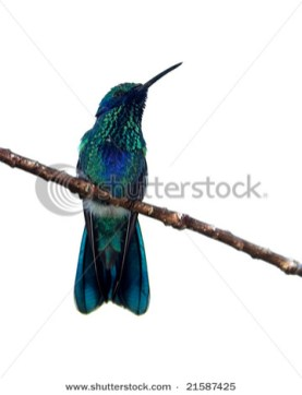 Colibri coruscans Sparkling Violet-ear Family TROCHILIDAE (Hummingbirds) Sitting on a branch with a clipping path