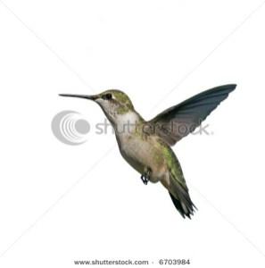 Flying Hummingbird isolated on white
