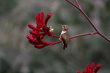 Hummingbird and his flower