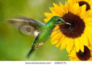 hummingbird feeding from sunflower