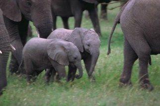 Anak gajah3