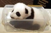 Anak panda2