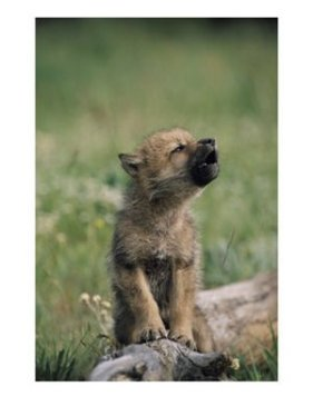 Anak serigala 2