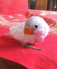 Lovebird anakan produksi Om Dwi LoveBird Jogja
