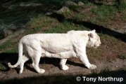 macan albino2