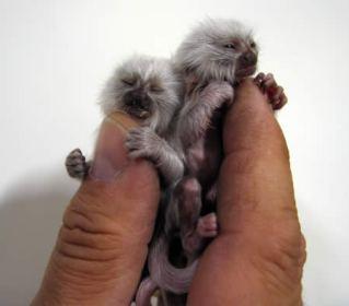 monyet albino