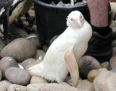 pinguin albino
