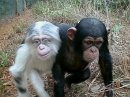 simpanse albino