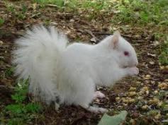 tupai albino2