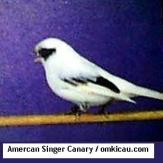 Amercan Singer Canary2