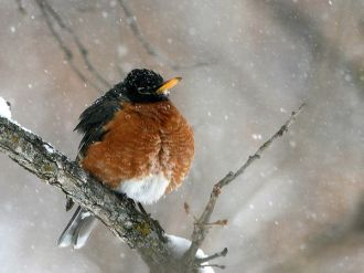 American robin - Early robin and late snow