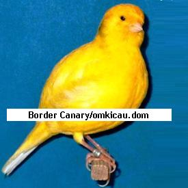 Border Fancy Canary