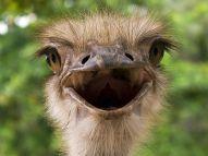 Emu, salah satu burung terbesar di dunia - National Geographic