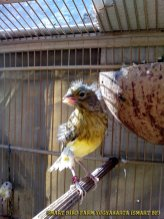 Gambar-gambar lab penangkaran burung kenari SmartBF (12)