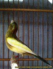 Gambar-gambar lab penangkaran burung kenari SmartBF (19)