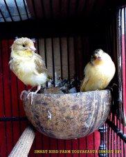 Gambar-gambar lab penangkaran burung kenari SmartBF (23)