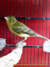 Gambar-gambar lab penangkaran burung kenari SmartBF (29)