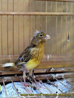 Gambar-gambar lab penangkaran burung kenari SmartBF (3)