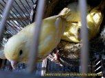 Gambar-gambar lab penangkaran burung kenari SmartBF (34)