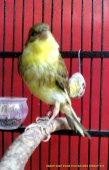 Gambar-gambar lab penangkaran burung kenari SmartBF (37)