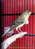 Gambar-gambar lab penangkaran burung kenari SmartBF (39)