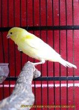Gambar-gambar lab penangkaran burung kenari SmartBF (41)