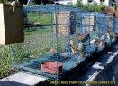 Gambar-gambar lab penangkaran burung kenari SmartBF (45)