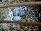 Gambar-gambar lab penangkaran burung kenari SmartBF (49)