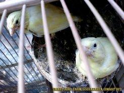 Gambar-gambar lab penangkaran burung kenari SmartBF (7)