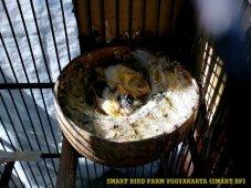 Gambar-gambar lab penangkaran burung kenari SmartBF (9)
