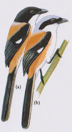 perbedaan burung pentet jawa timur dan jawa barat