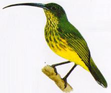 Burung Pijantung Besar atau Arachnothera Robusta