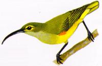 Burung Pijantung Kampung - Arachnothera crassirostris
