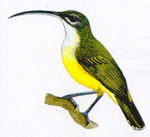 Jenisjenis burung pijantung atau cucuk jantung genus