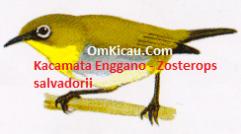 Gambar Burung Kacamata Enggano Zozterops salvadorii