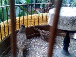 Kawin 2 - Burung branjangan di padepokan Gampit Om Ari Suprawadi