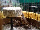 Kawin 4 - Burung branjangan di padepokan Gampit Om Ari Suprawadi