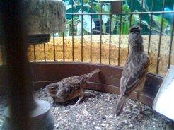 Kawin - Burung branjangan di padepokan Gampit Om Ari Suprawadi