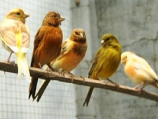 penangkaran burung kenari