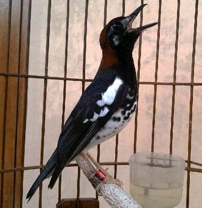 Burung anis kembang Si Maharaja Heri Gatbf (3)