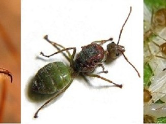 keuntungan menangkarkan semut bagi penghobi burung